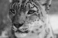 T+¬te du tigre008