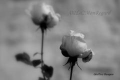 Roses n&b (1 sur 1)009